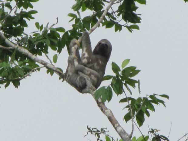 Sloth hanging from a tree in the Amazon.