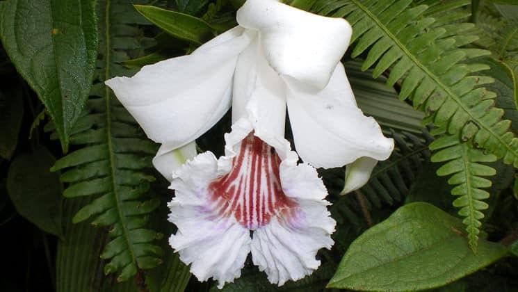 white orchid with red details on mashpi rainforest tour in ecuador