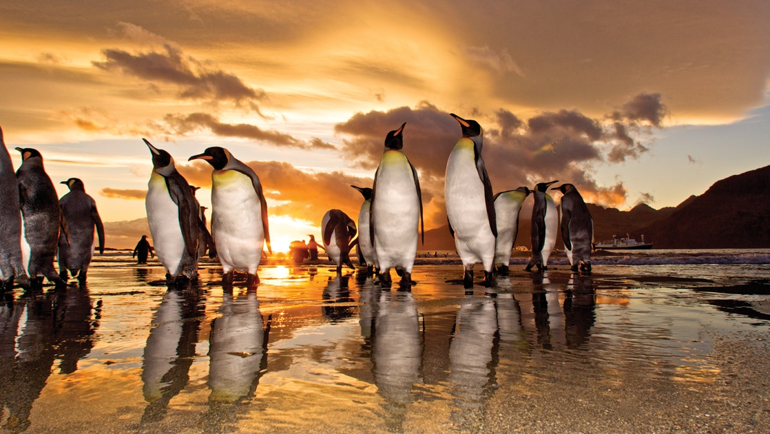 Group of king penguins stand on a wet sandy beach during an orange sunset seen from National Geographic Antarctica South Georgia & Falklands expedition.