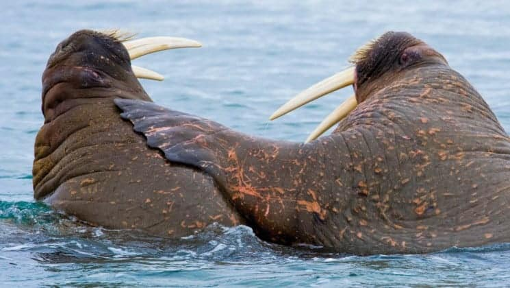 two walruses touching in water on national geographic svalbard in spring arctic cruise