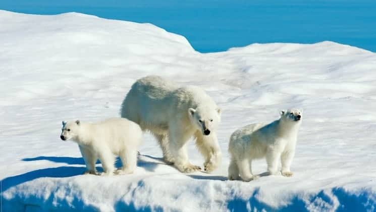 polar bear and two cubs on the ice seen on national geographic svalbard in spring cruise