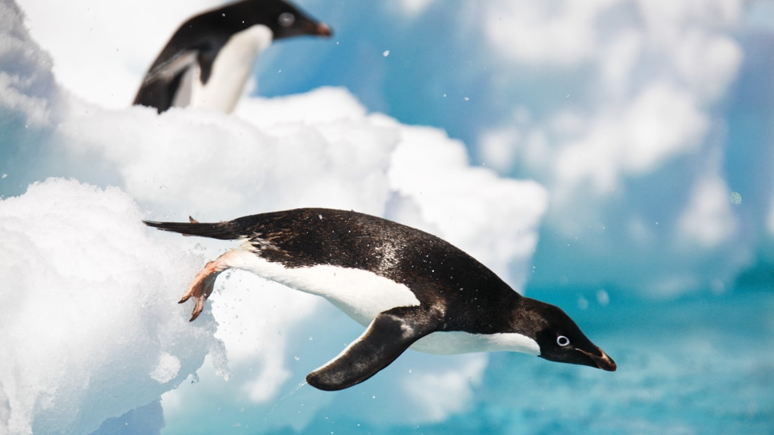 An adult Adelie penguin leaping into the sea to forage in the Danger Island Group in the Weddell Sea, Antarctica.