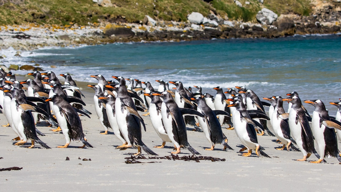 A sunny day in the Falkland Islands a large colony of Gentoo penguins exit the ocean water and run up the beach.