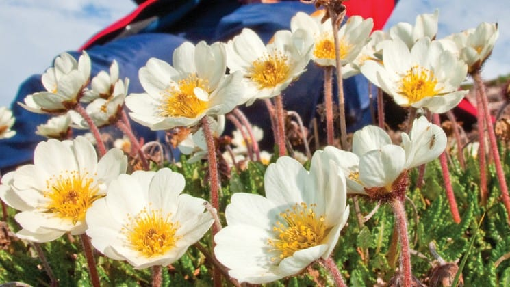 white and yellow wildflowers seen on national geographic svalbard in spring small ship cruise