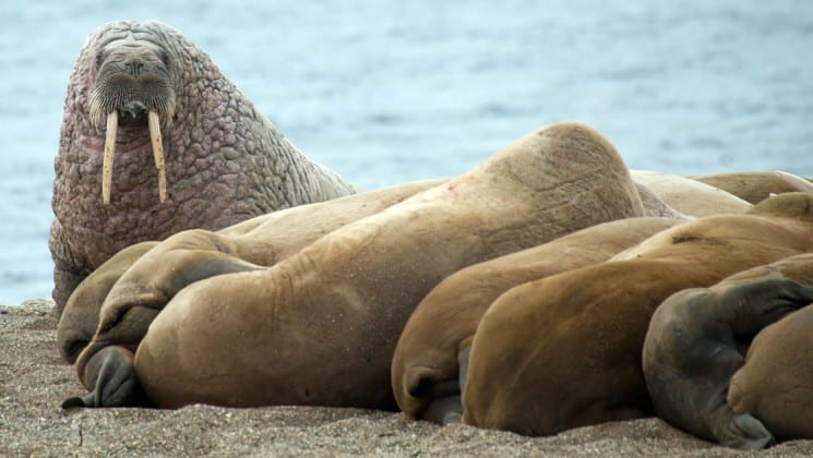 herd of walruses near north spitsbergen small ship arctic cruise