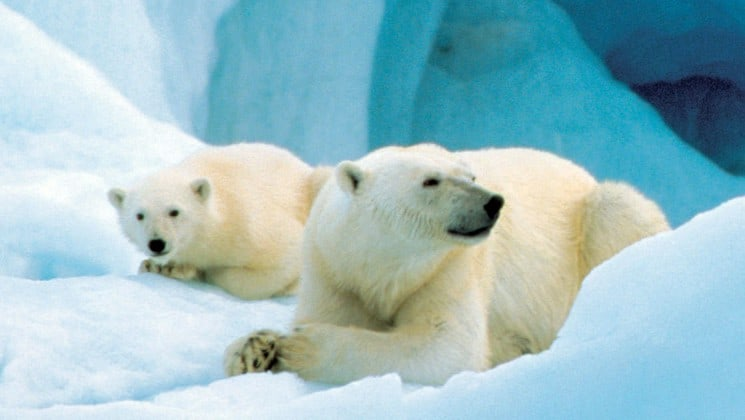 two polar bears on ice in north spitsbergen greenland
