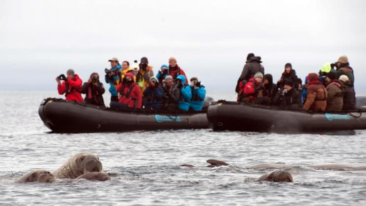 two zodiacs of sightseers watching walruses in arctic water of north spitsbergen