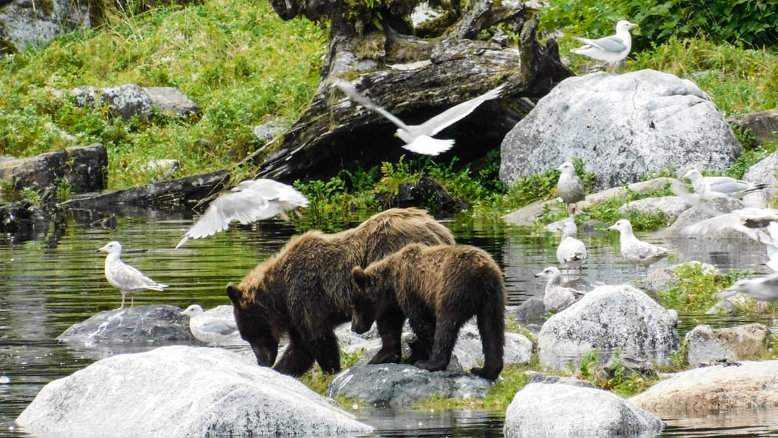 Mom and baby cub drinking water from stream in Alaska