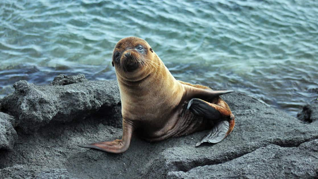 A sea lion walks out of the water onto rocks at the galapagos islands