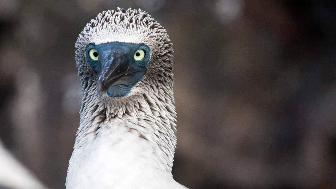 A close up head shot of a bird with white and grey feathers and sharp eyes at the galapagos islands