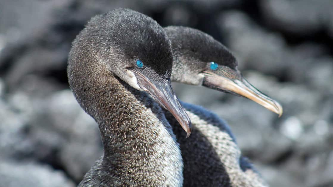 Two cormorant birds nesting among rocks at the galapagos islands