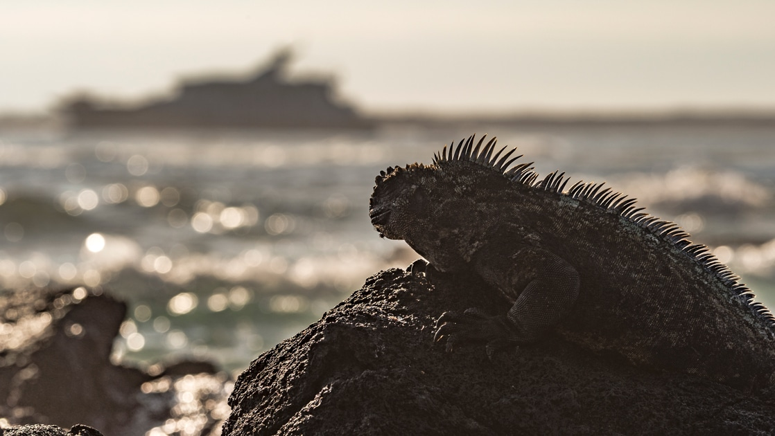 A silhouette pf a marine iguana as it rests on a rock in front of the ocean in, beyond it, a silhouette of a Galapagos small luxury ship.