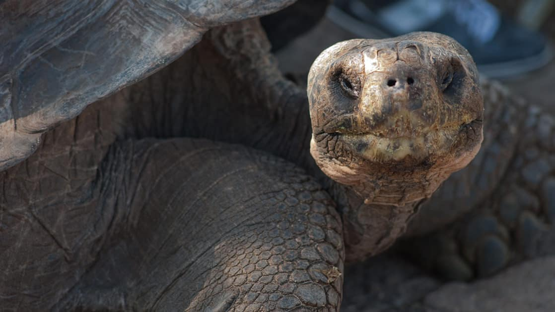A close up photo of a giant tortoise at the Galapagos islands