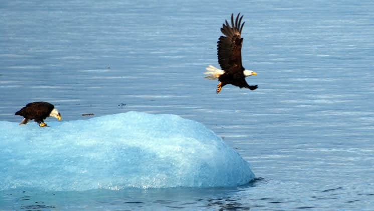 one bald eagle stands on an iceberg while another flies away from it on a sunny day in alaska