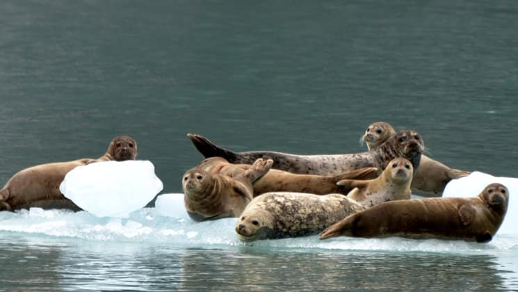 seals relax on floating icebergs with green water around them in alaska's eastern passage
