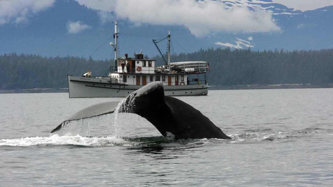 whale tail emerges from the water in the foreground as a small ship is anchored behind it with mist and mountains in the background on a cloudy day in the eastern passage of alaska