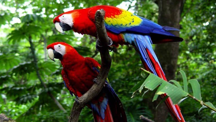 two scarlet macaws in trees on pacific costa rica land tour