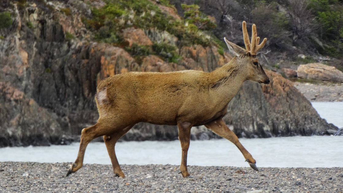 Young buck walks on a pebble beach beside calm water with green & gold hillside behind, seen during the Patagonia Wildlife Safari.