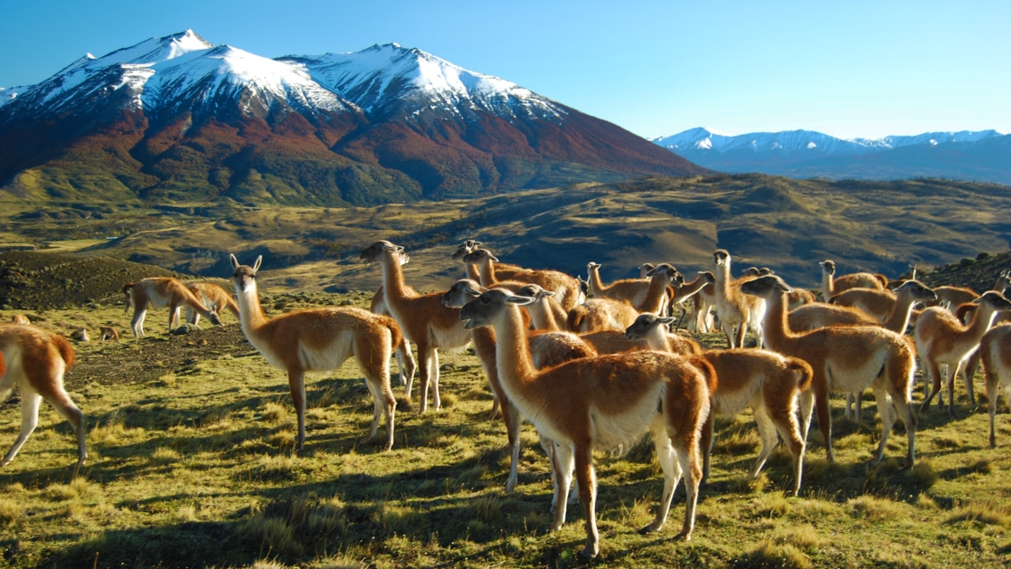 Group of light-brown-&-tan guanacos stands in a bright green grassy field with snowcapped peaks in the background on a sunny day.