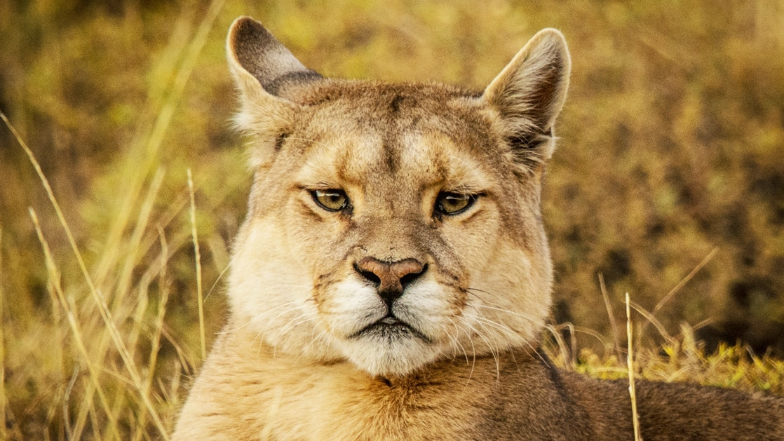 Close up of the face of a puma with beige fur & dark eyes, seen during the Patagonia Wildlife Safari in Torres del Paine.