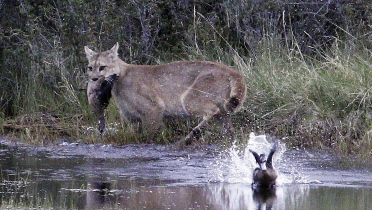 puma with duck in mouth as other duck flies away on patagonia wildlife safari