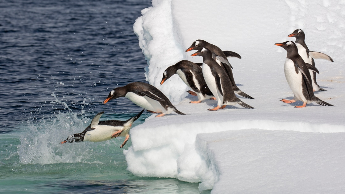 A group of black white penguins with orange beaks and feet dive into the polar water from a white snowy iceberg in Antarctica