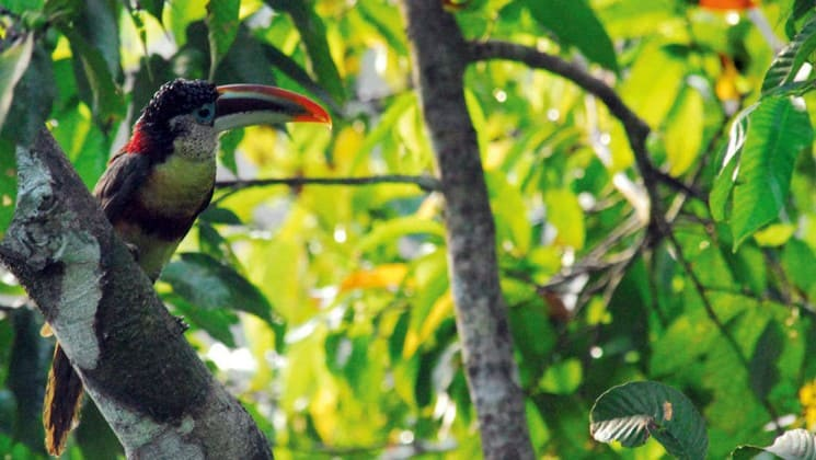 toucan in the amazon jungle with bright green foliage around it