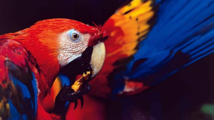 amazon macaw parrot with vibrant red yellow and blue feathers cleaning itself with a dark background behind it