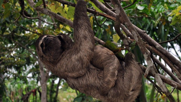 a mother sloth carries a baby through the amazon jungle canopy
