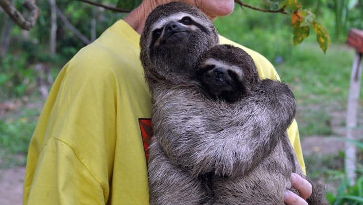 traveler on an amazon land tour holds a mother and baby sloth at a preserve