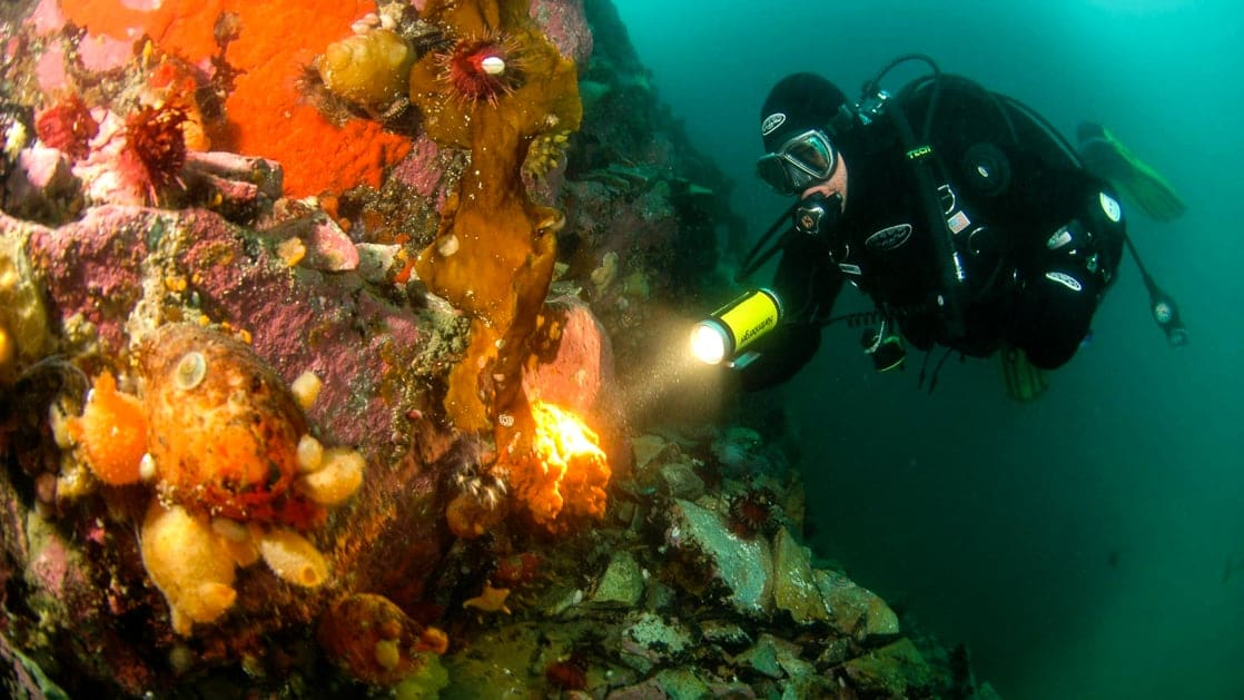 suba diver with colorful coral reef in Antarctica holding flashlight