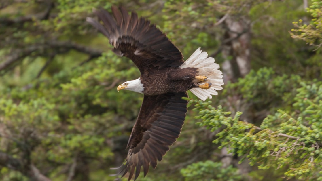 Bald eagle spreads its wings wide as it flies with green trees in the background on the Prince William Sound Discovery cruise.