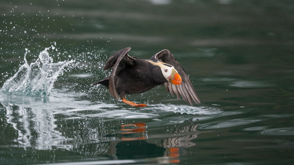 Puffin with bright orange-tipped beak & dark feathers flies into the water to catch its prey on an Alaska small ship cruise.