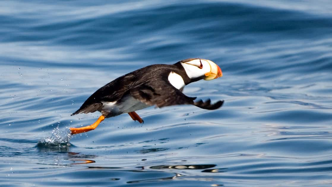 A Puffin bird flying just above the water in prince william sound alaska