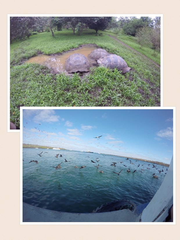 collage showing galapagos tortoises and sea birds flocking next to a luxury small ship