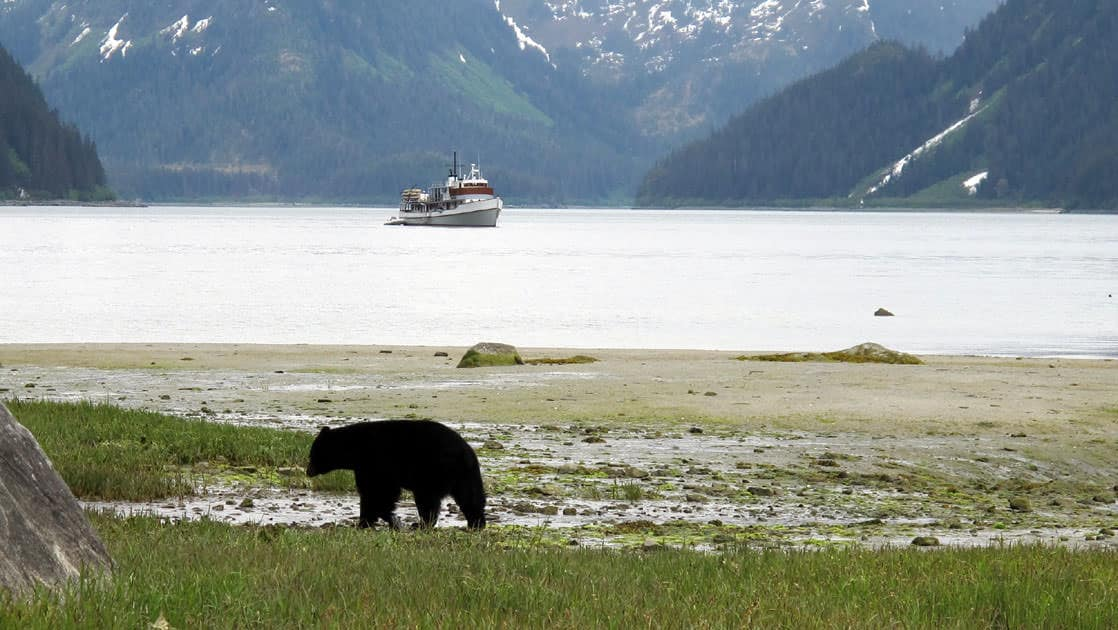bear walking on shore with sea wolf alaska small ship anchored behind it and large mountains in the distance