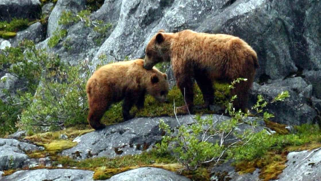 alaska grizzly bears standing in front of sheer rocks