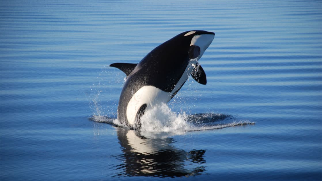orca fully breaching calm alaskan water on a sunny day