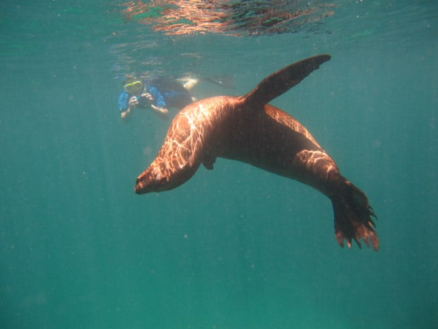 Snorkeler taking an underwater photo of a sea lion in the Galapagos.