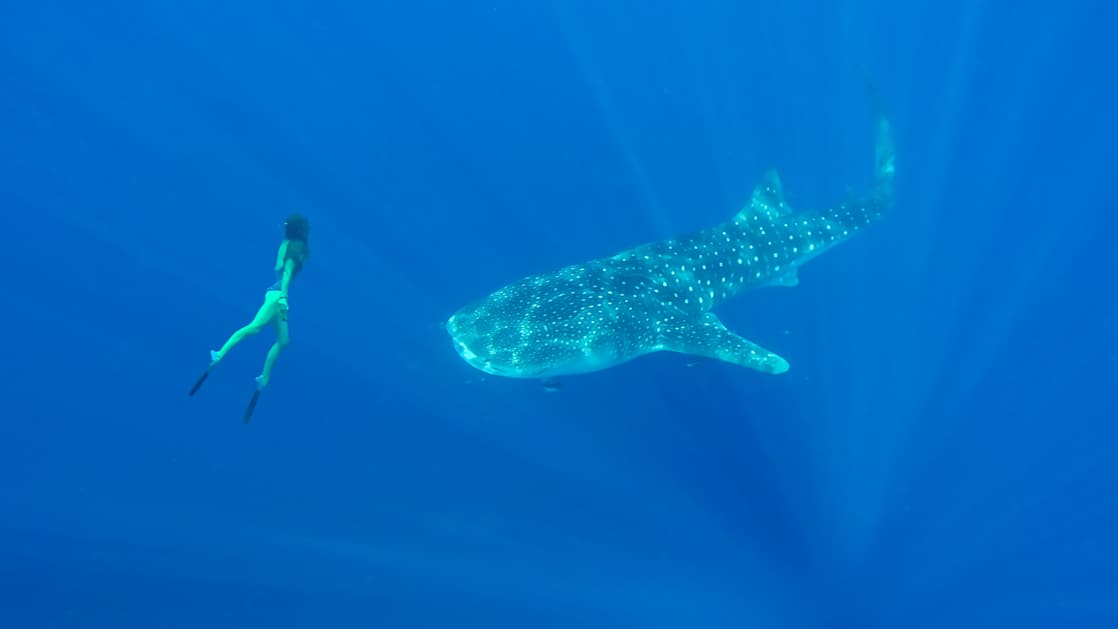 Woman free diving beside large whale shark in bright blue waters during the Spice Islands & Raja Ampat small ship cruise in Indonesia.