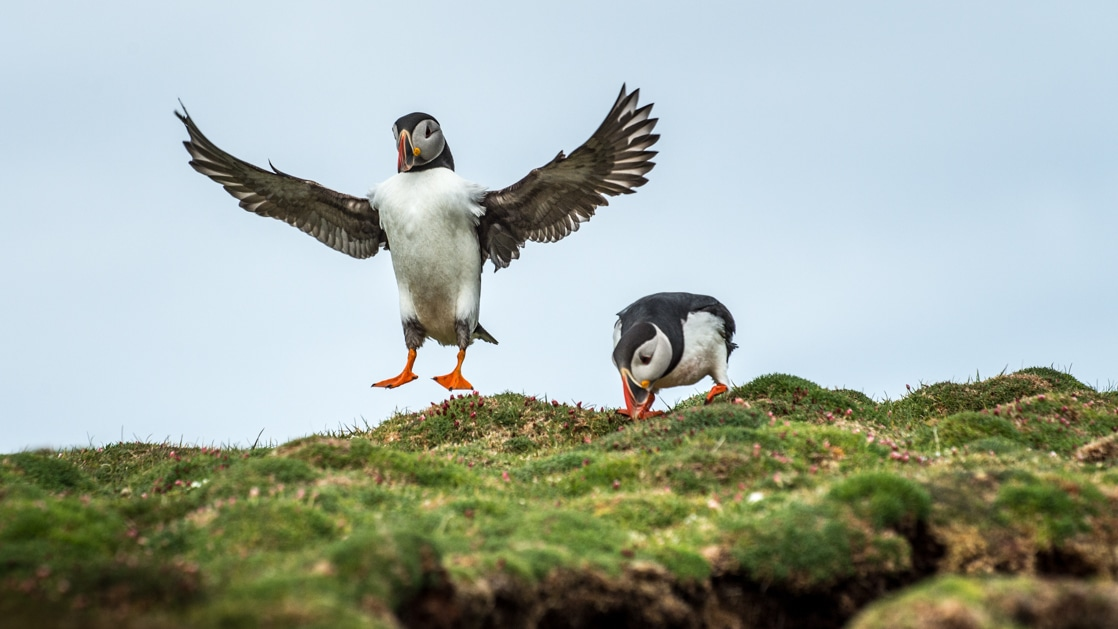 two puffins on the from the highlands to the high arctic cruise