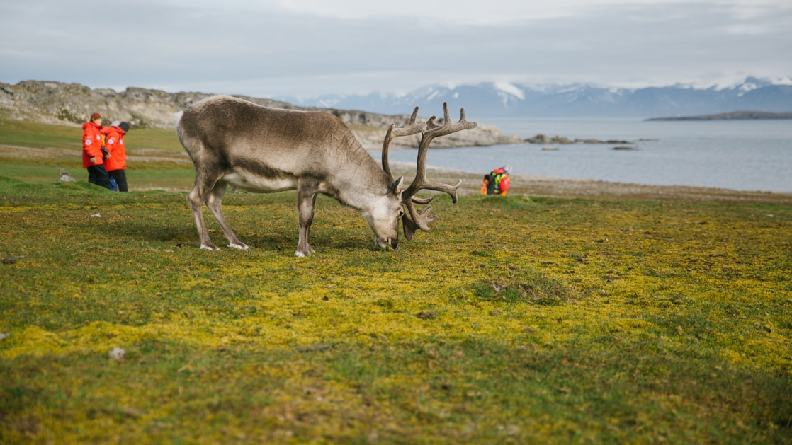 reindeer grazing on the coast on from the highlands to the high arctic cruise