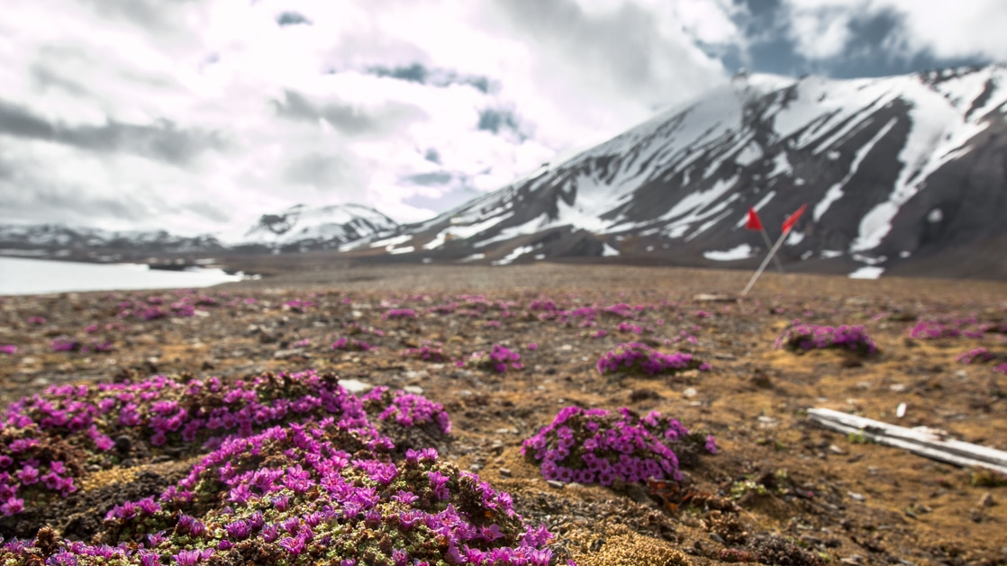 purple wildflowers on tundra of from the highlands to the high arctic cruise