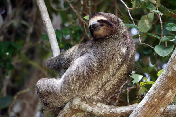 A 3 toed sloth sitting on a tree branch in the Costa Rica jungle