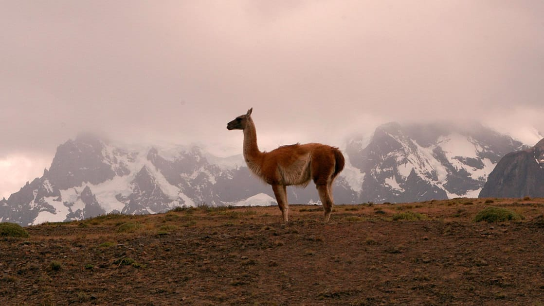 Guanaco standing on a hillside with snowy clouded in mountains behind in patagonia