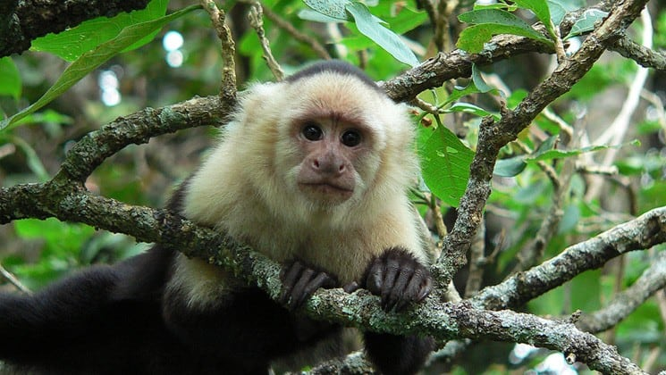 white-face monkey on tropical rainforests & manuel antonio land tour in costa rica