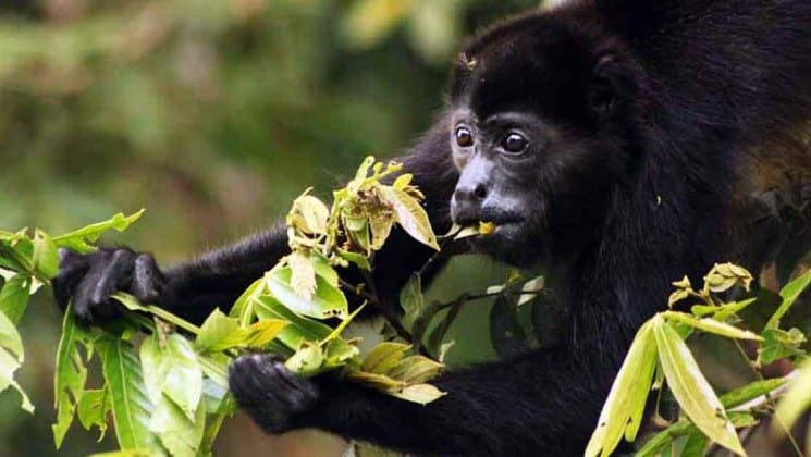 howler monkey eating on tropical volcano & cloud forest trip in costa rica