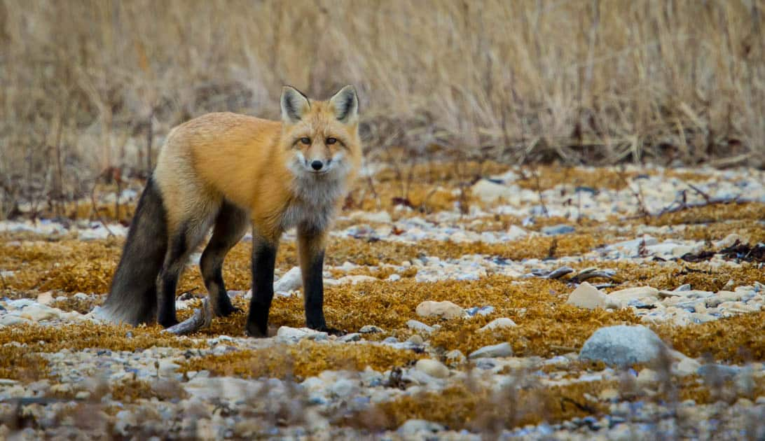A red arctic fox looking at the camera.