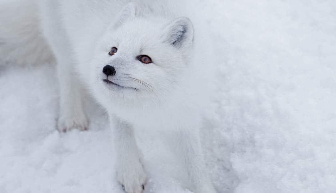 A white arctic fox looking up.