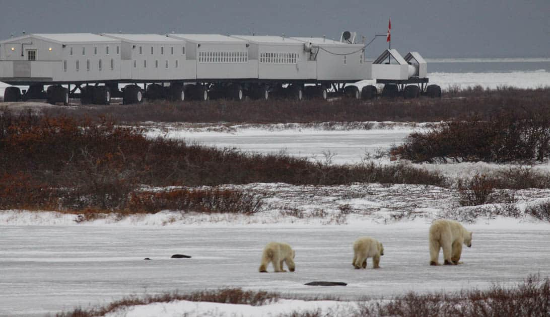 A group of three polar bears walking toward the Tundra Lodge.